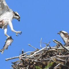 Schutz des Fischadlers: Grenzüberschreitend und gemeinsam für die Erhaltung und Entwicklung von Brutgebieten des Fischadlers am Oberrhein