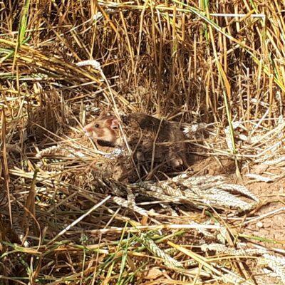 CRICETUS: Schutz des Europäischen Hamsters und der Biodiversität in den Agrarlandschaften des Oberrheins